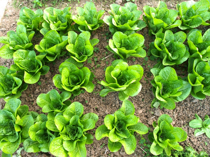 Authorities recalled lettuce products after reported salmonella cases.