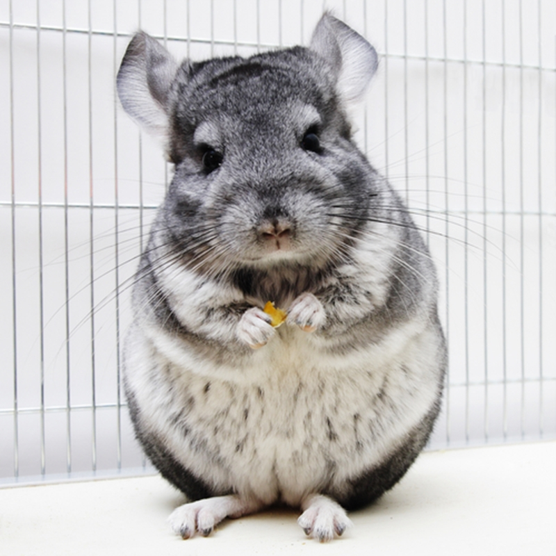 Chinchillas from the UK are welcome in New Zealand.