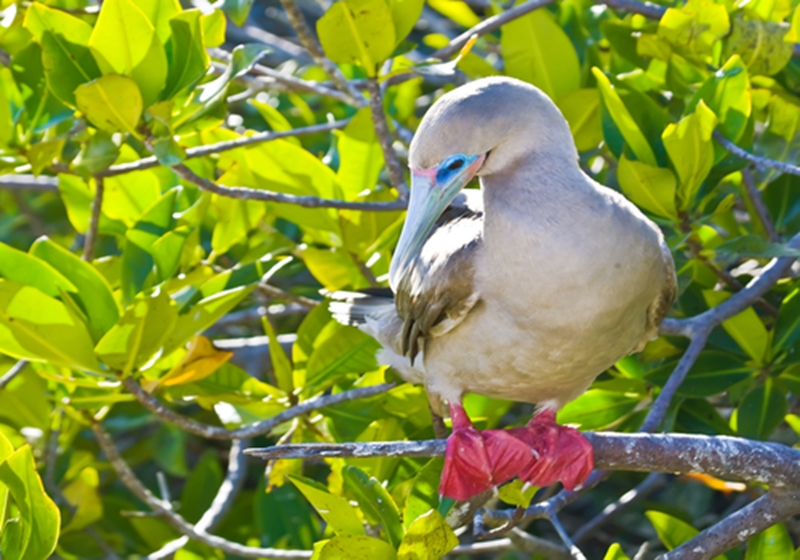 Red-footed boobies and other birds in the Galapagos Islands are vibrant and beautiful.