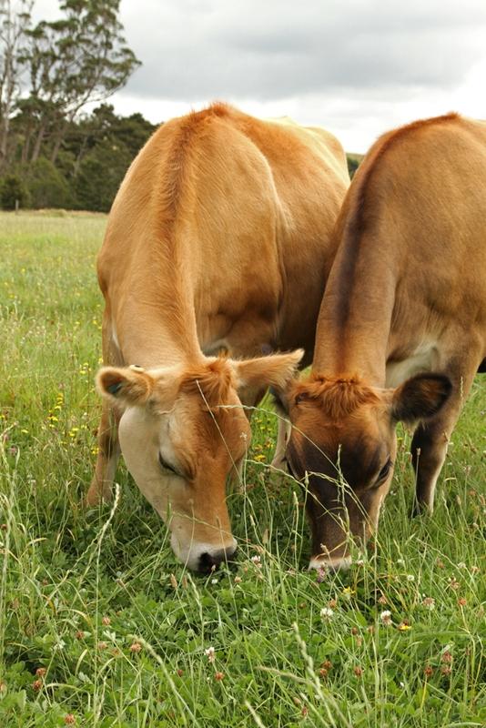 New Zealand's best dairy herds hail from Taranaki.