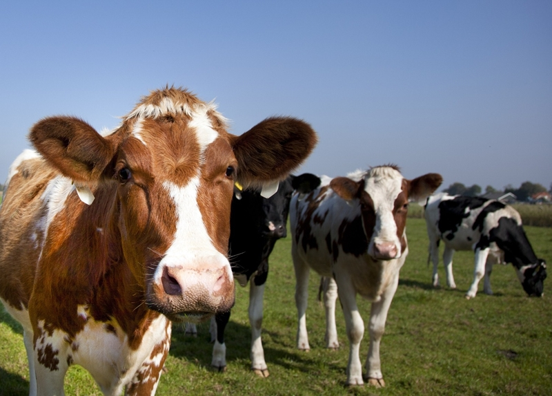 A new hi-tech camera system can determine quality and volume of any given cow's meat.