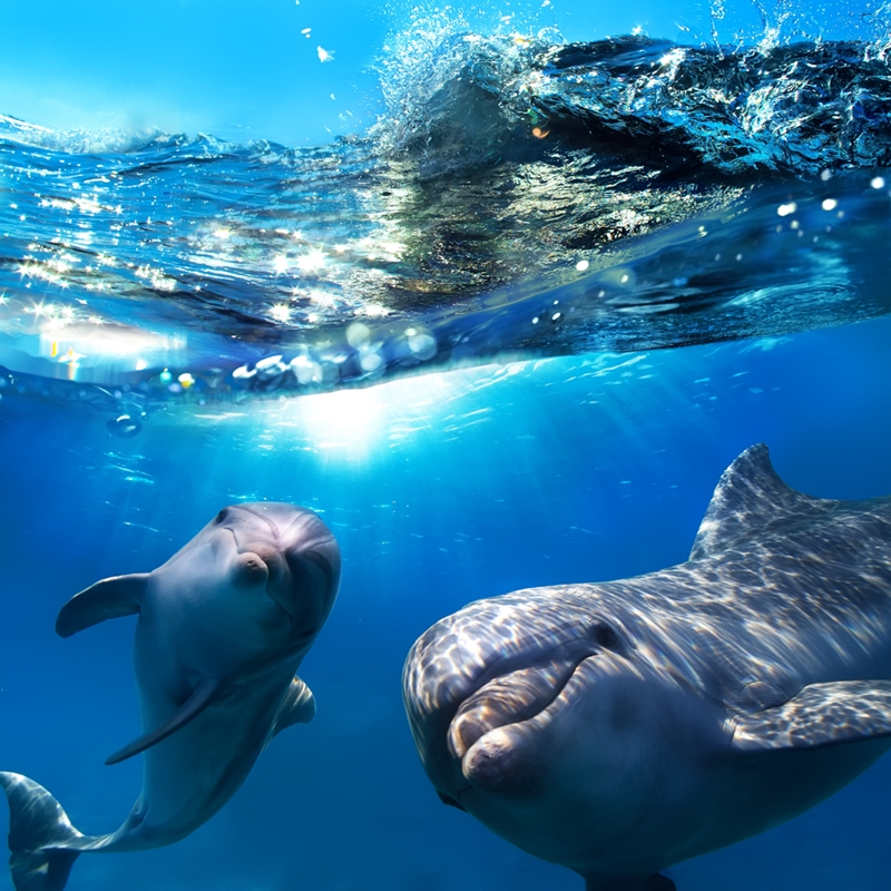 Swim with dolphins off Oahu's western coast.