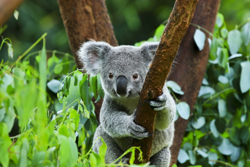 Don't miss the koalas hanging out in the trees as you paddle down the creek below!