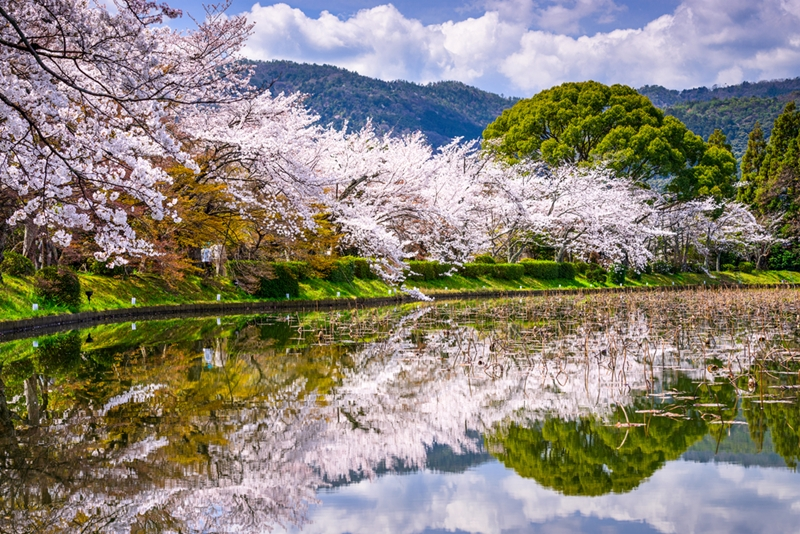Kyoto is a great place to see the sakura, or cherry blossoms.