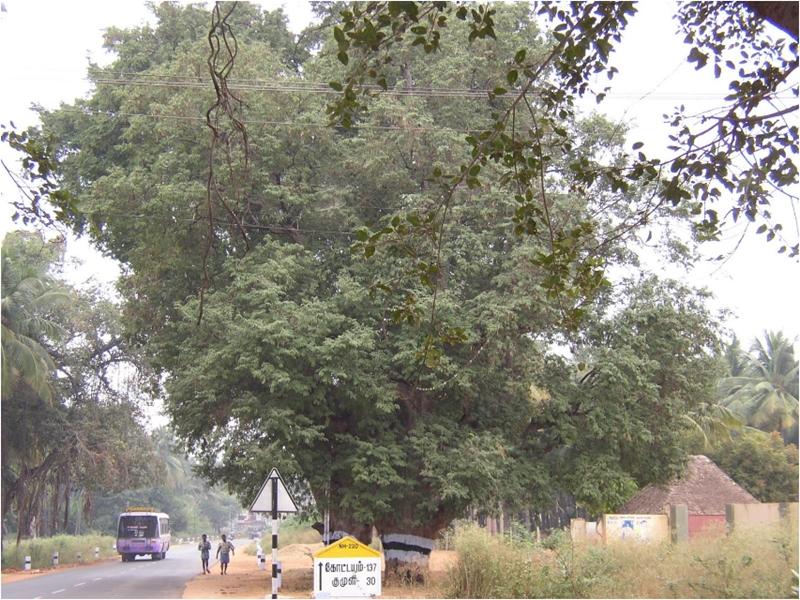 Tamarind trees along the roadside in Tamil Nadu, South India.