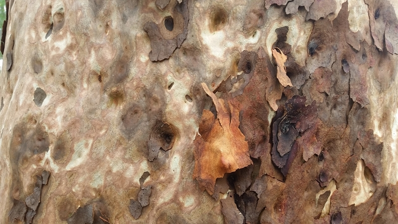 Spotted gum is one of the most popular timber types in Sydney.