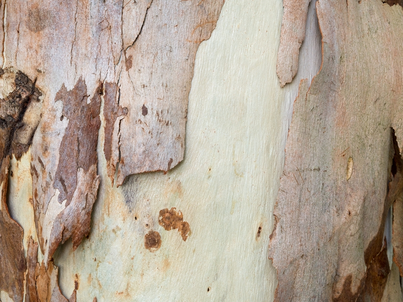 Spotted Gum bark makes the tree species unique.