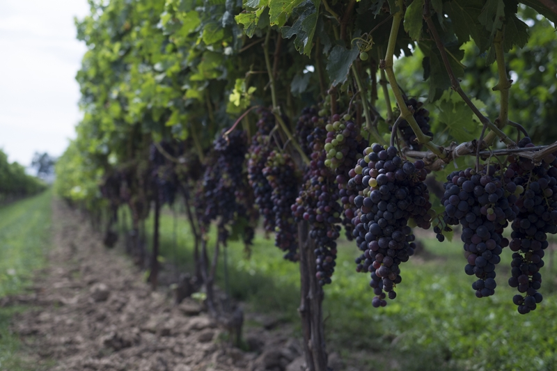 Key research into areas such as premium grape varieties has produced the wine industry we know today.