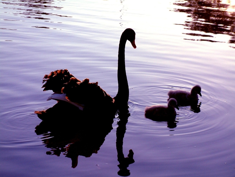 Western Australia's black swans have become a metaphor for business risk.