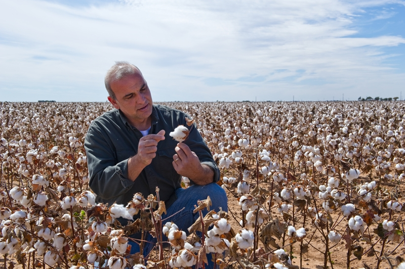 Cotton is a thirsty plant, which may be increasing farmers' risk profile.