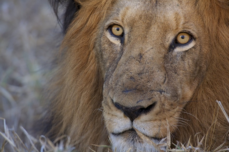 Will you spot lions on your African tour?