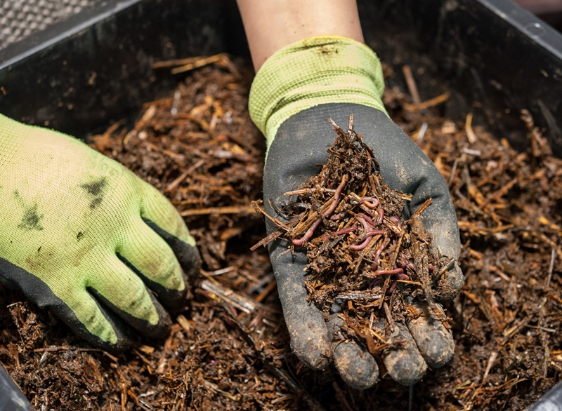 A person with gloves on holds a handful of compost with worms in it.