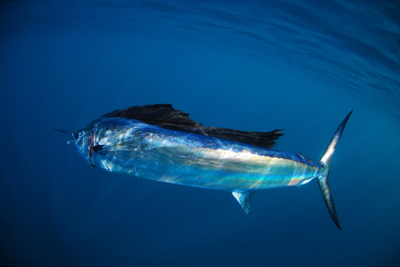 The sailfish is one of the ocean's fastest swimmers - can you catch one?