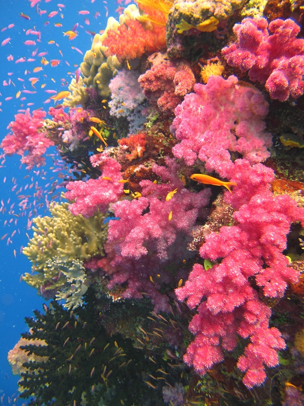 Learn how the Jean-Michel Cousteau Resort helps preserve the coral.