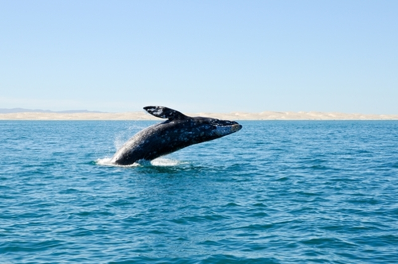 See grey whales up close at the Pacific Rim Whale Festival.